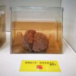 人間の生脳を見に行こうよ「 つやま自然のふしぎ館」